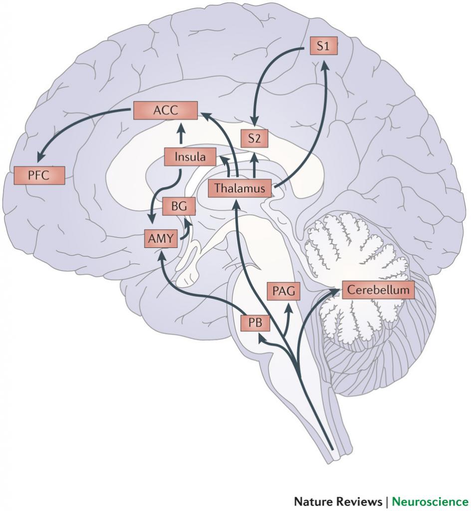 Brainstem cerebellum thalamus cortex