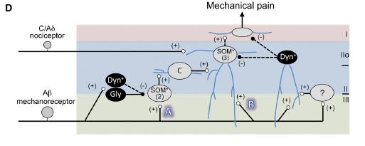 Duan etal Spinal cord gate figure