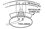 Crick Fig 1 Reticular thalamic complex