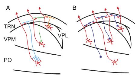 Lam & Sherman Fig 10 Spatial organization thalamocortical pathway