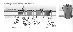 Kandel Fig 5-11c Voltage-gated Ion channel