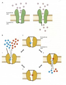 Kandel Fig 5-19 Ion channels and pumps