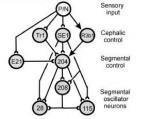 Mullins et al 2011a Fig 7 Leech